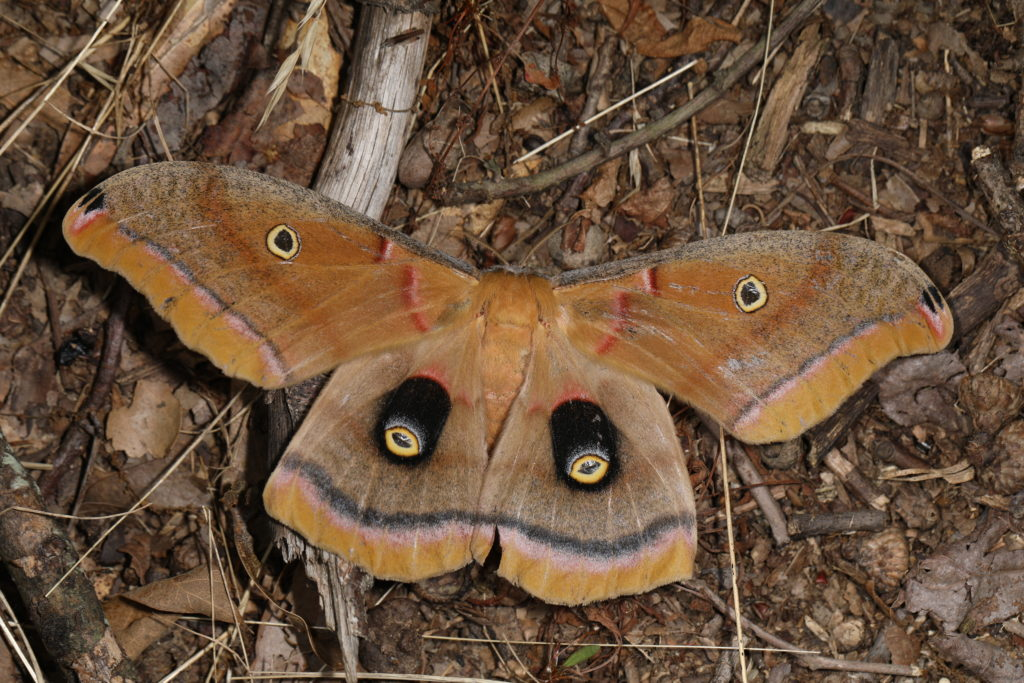 Polyphemus Moth, wings spread wide, showing two large and two small amazingly convincing eyespots on the wings.