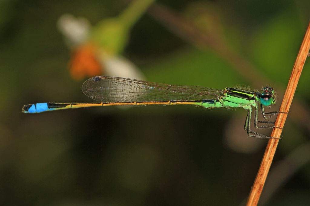 Damselfly with colors of green, black, orange, and blue.