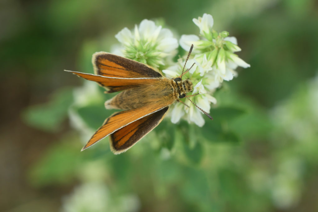 Orange and brown skipper standing with front wings upright and hind wings vertical.