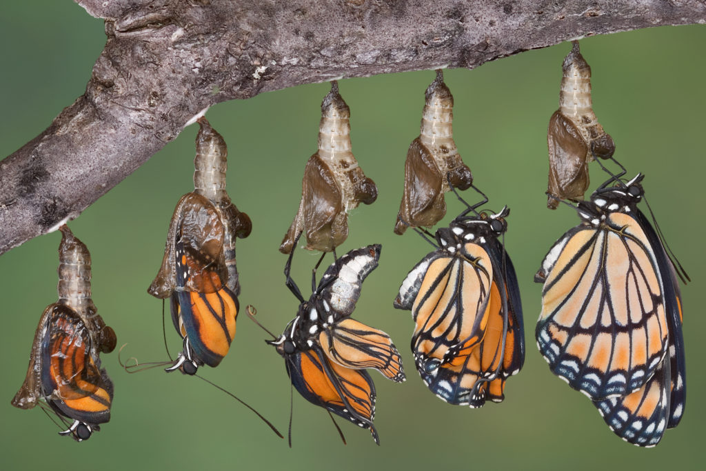 Series of ilmages showing Viceroy Butterfly emerging from chrysalis, and inflating and drying wings.