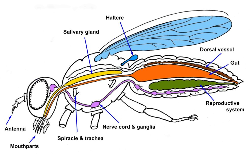 Illustration of a fly's internal anatomy with labels pointing to different organs.