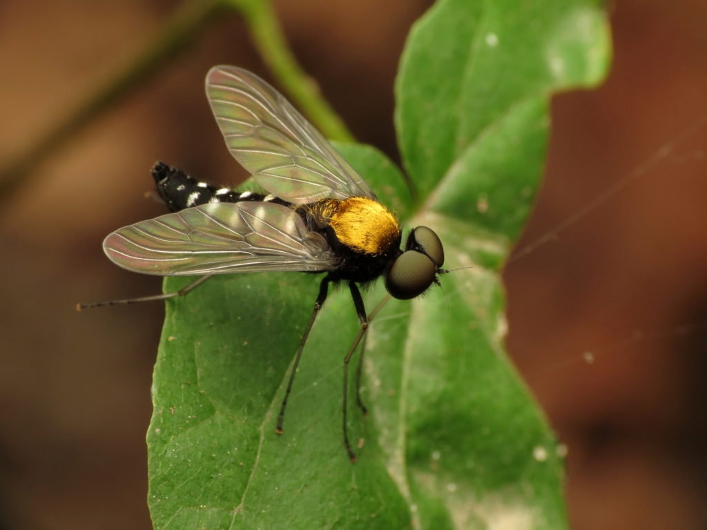 Golden-backed Snipe Fly, which has a beautiful golden thorax, standing on a green leaf.