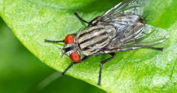 House fly standing on a green leaf.