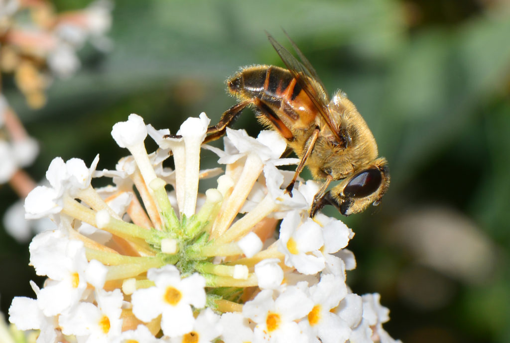 A fly that looks like a honeybee standing on a white flower.