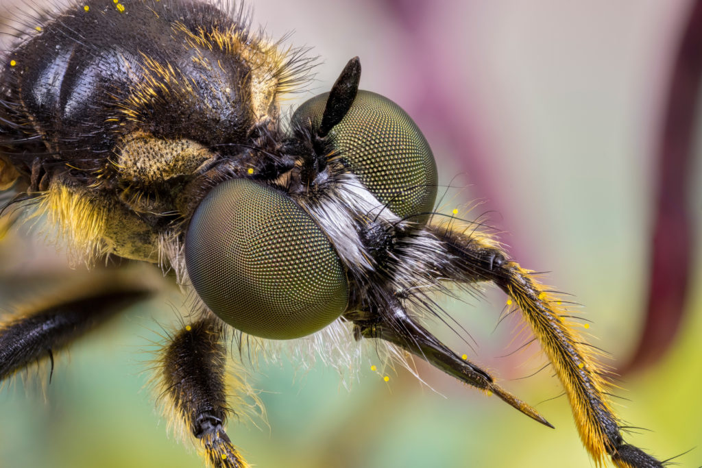 Close up of the head of a robber fly in the family Asilida, showing its sharp proboscis.e