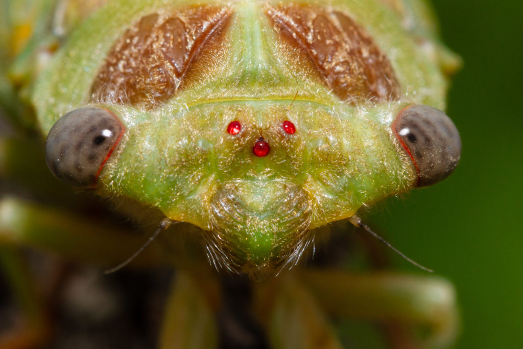 Cicada facing camera. It's ocelli are reddish-colored and centered on forehead.