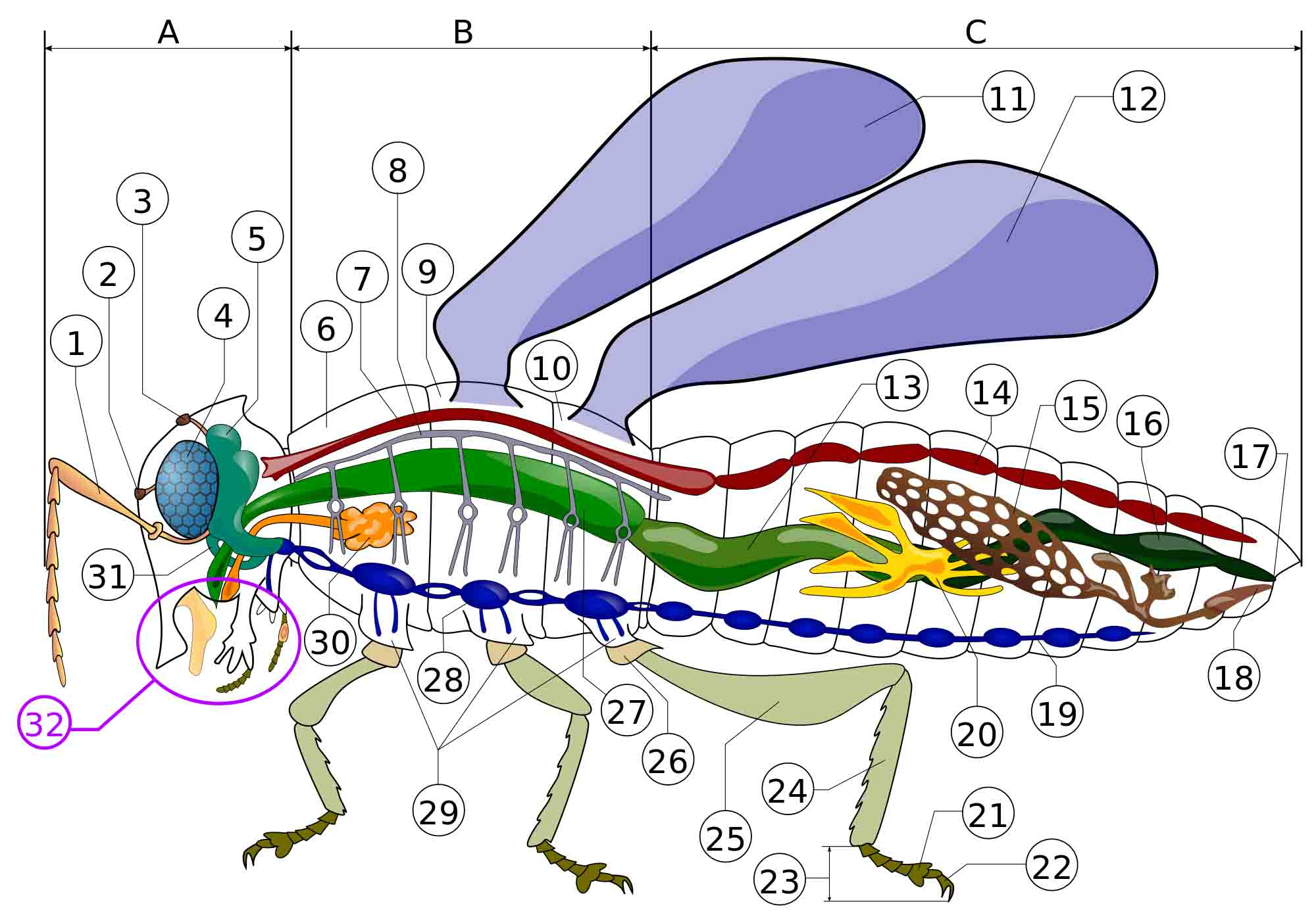 Color illustration of an insect with labels for different body parts.