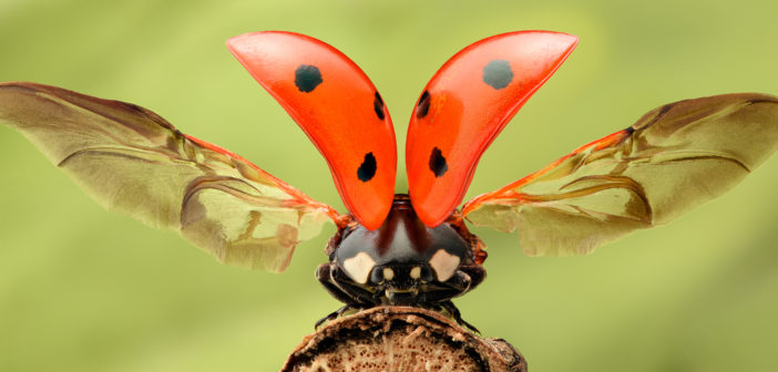 Seven-spotted lady beetle with wings raised.