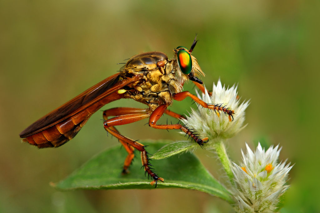 Robber fly standing sideways on a flower blossom, its eye reflecting shades of red, gold, yellow, and green.