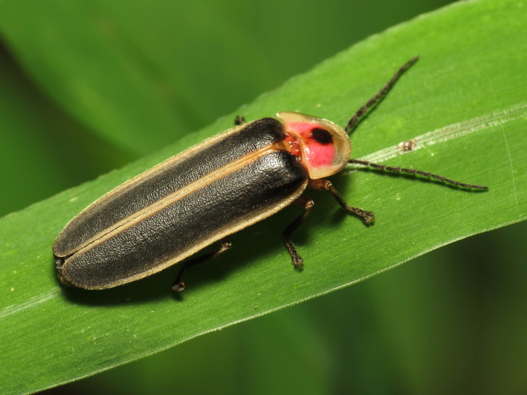 Firefly standing on a green leaf.