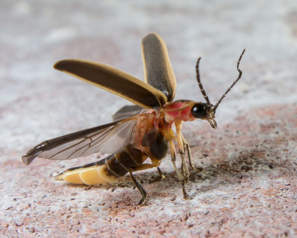 Side view of firefly with elytra raised and hind wings unfolded, preparing for flight.
