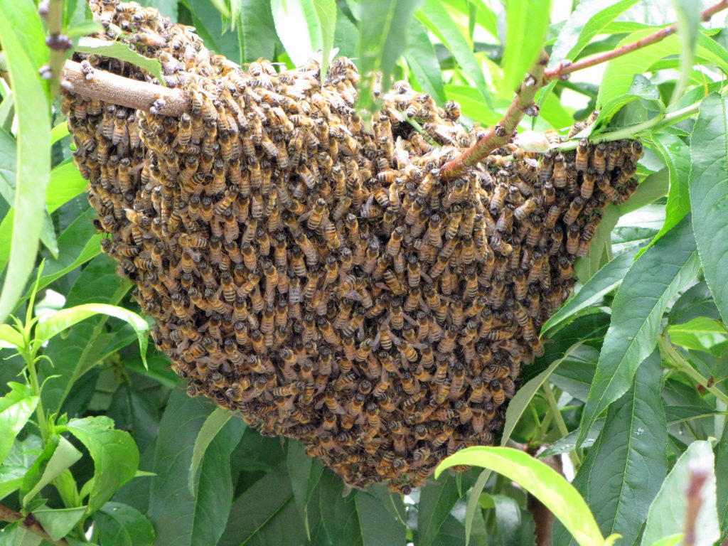 Swarm of honeybees packed tightly together on a tree branch.